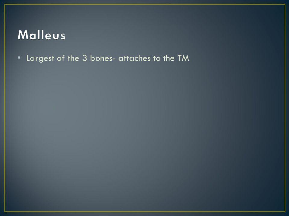 Malleus Largest of the 3 bones- attaches to the TM