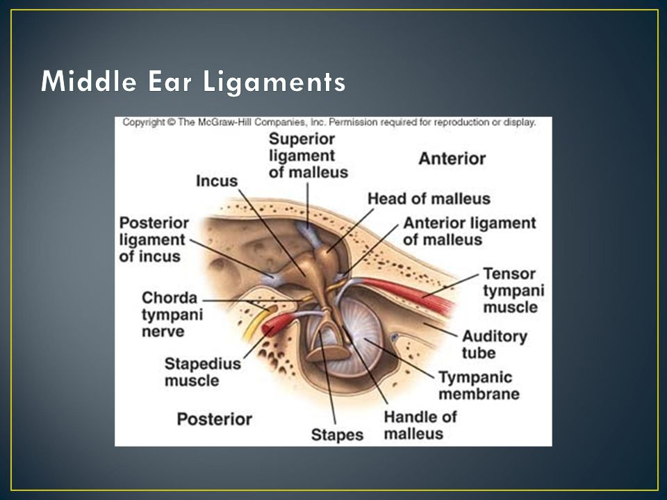 Middle Ear Ligaments Superior ligament of the malleus- holds the head of the malleus within the epitympanic recess.