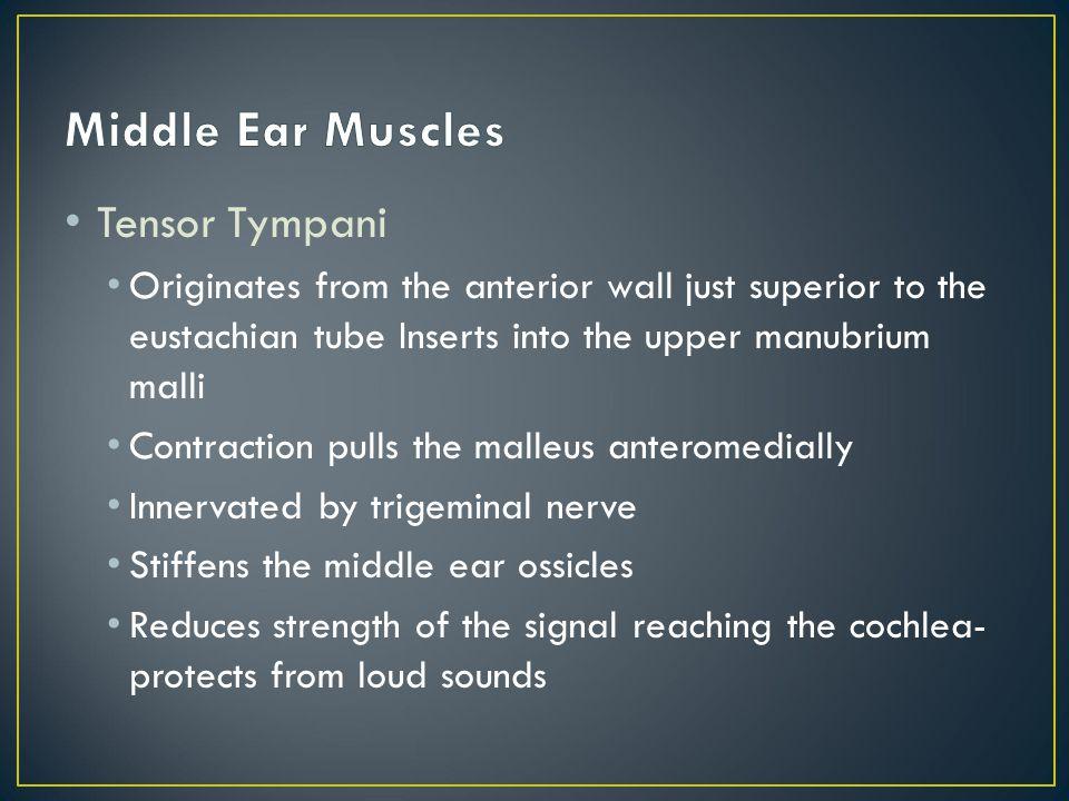 Middle Ear Muscles Tensor Tympani