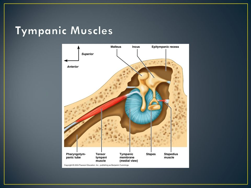 Tympanic Muscles Stapedius muscle