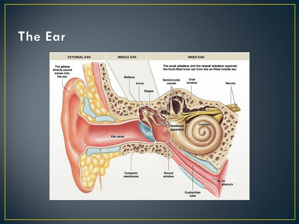 The Ear The three parts of the ear- Outer, Middle and Inner
