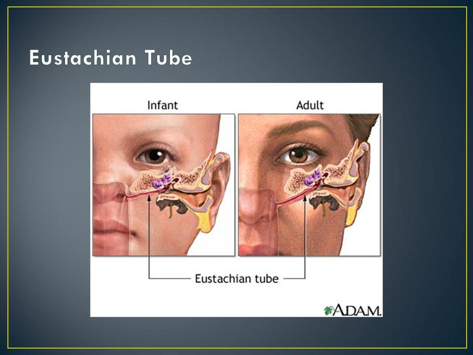 Eustachian Tube