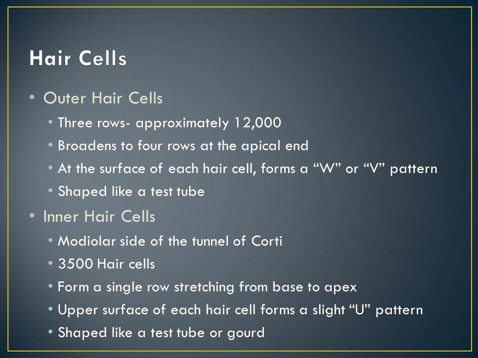 Hair Cells Outer Hair Cells Inner Hair Cells