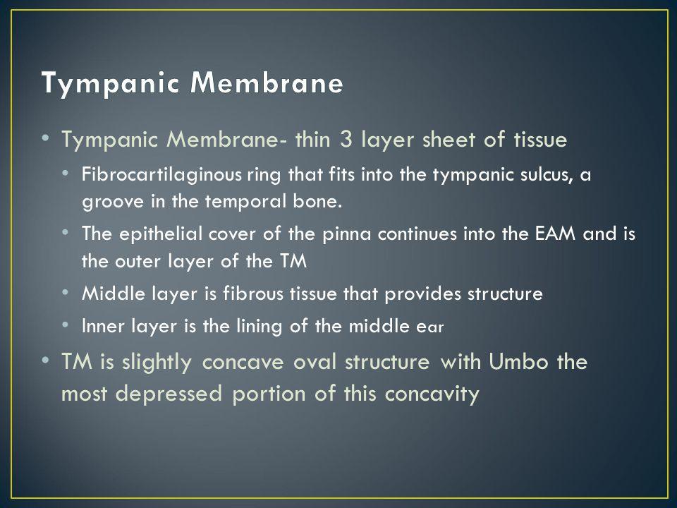 Tympanic Membrane Tympanic Membrane- thin 3 layer sheet of tissue