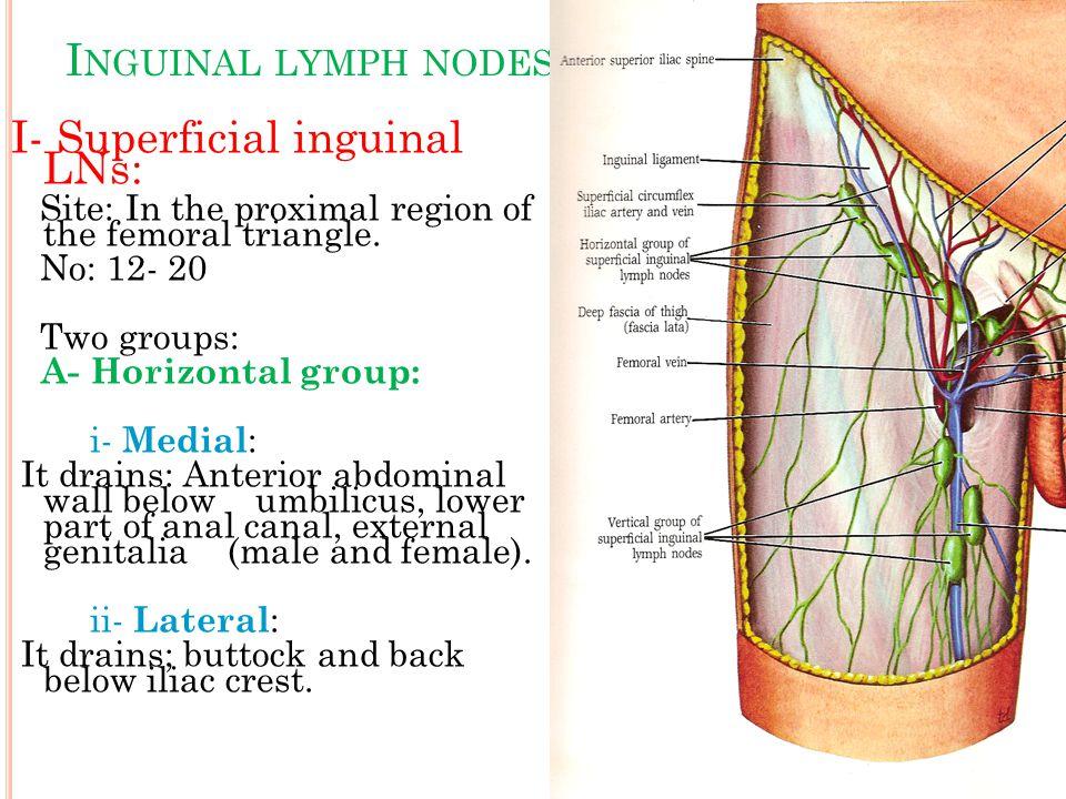 I- Superficial inguinal LNs: