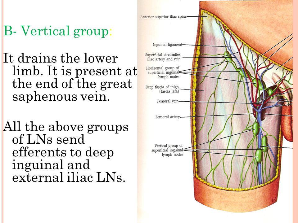 B- Vertical group: It drains the lower limb. It is present at the end of the great saphenous vein.