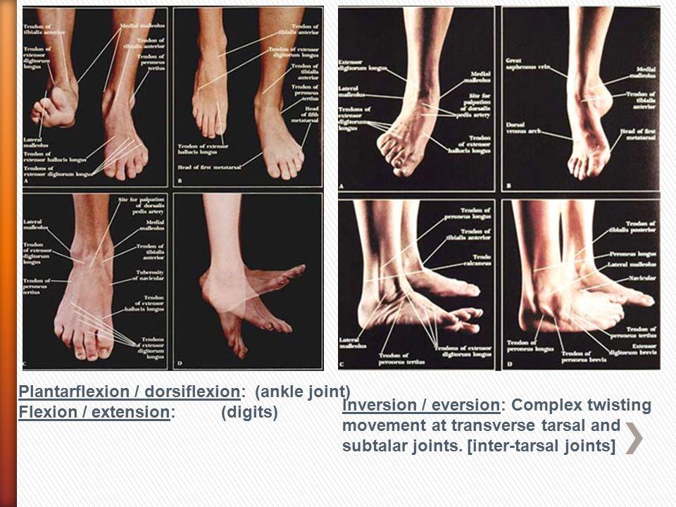 Plantarflexion / dorsiflexion: (ankle joint)
