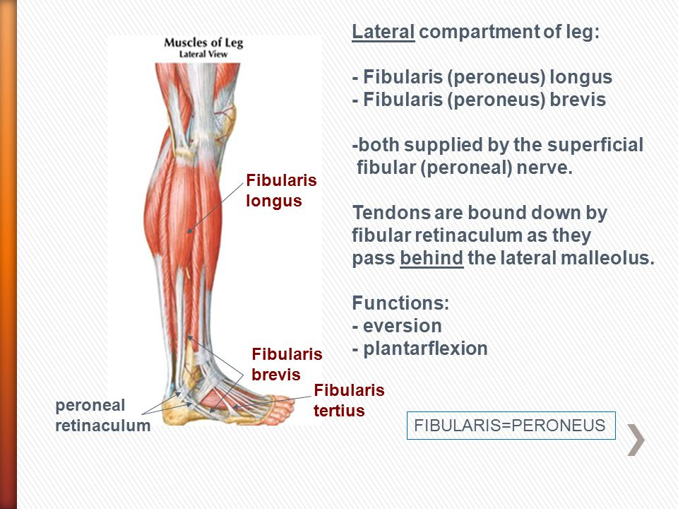 lateral compartment of leg - photo #9