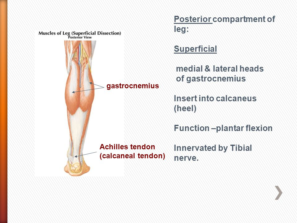 Posterior compartment of leg: