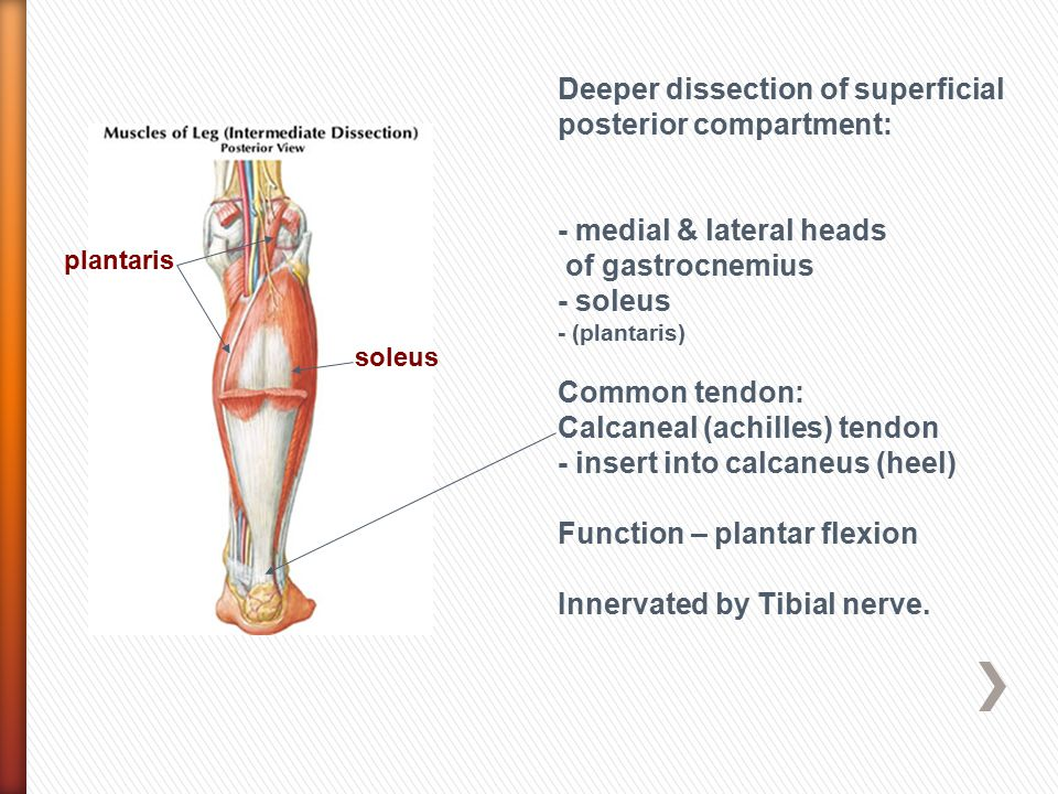 Deeper dissection of superficial posterior compartment:
