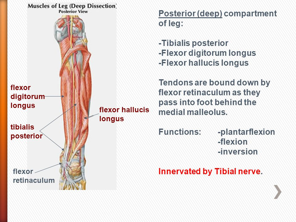 Posterior (deep) compartment of leg: