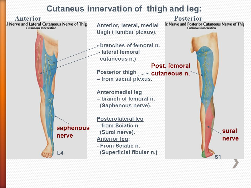 Cutaneus innervation of thigh and leg: