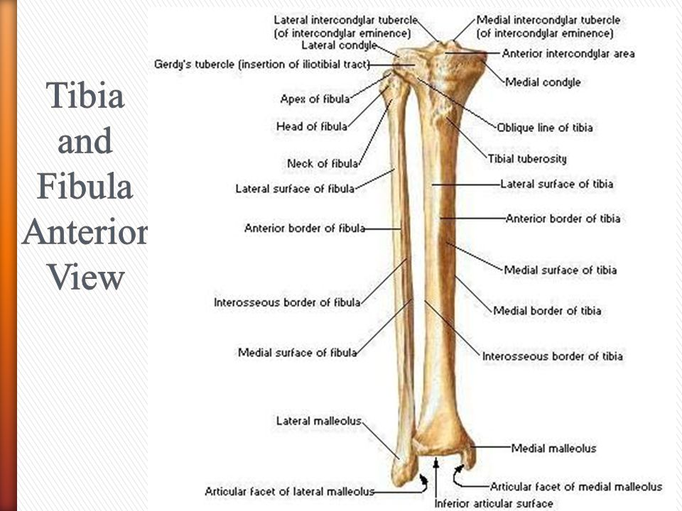 Tibia and Fibula Anterior View