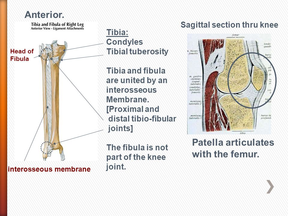 Anterior. Patella articulates with the femur.