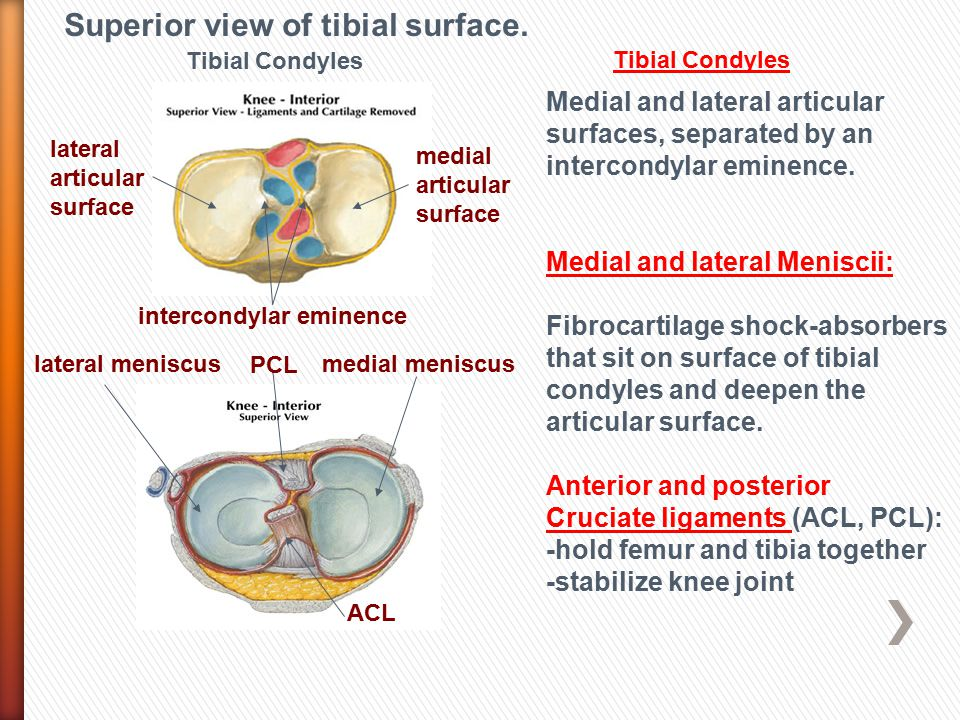 Superior view of tibial surface.