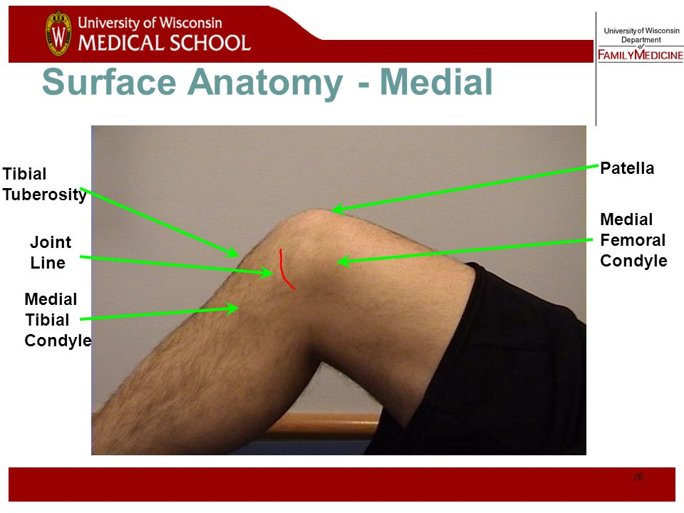 Surface Anatomy - Medial