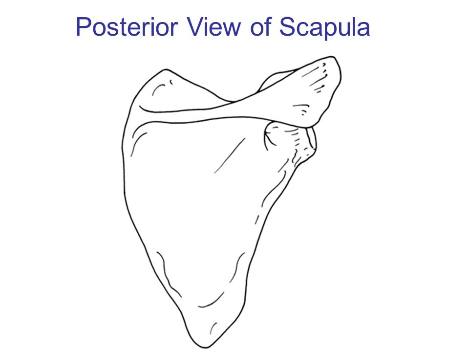 Posterior View of Scapula