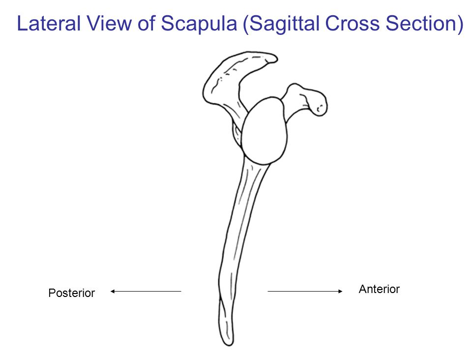 Lateral View of Scapula (Sagittal Cross Section)