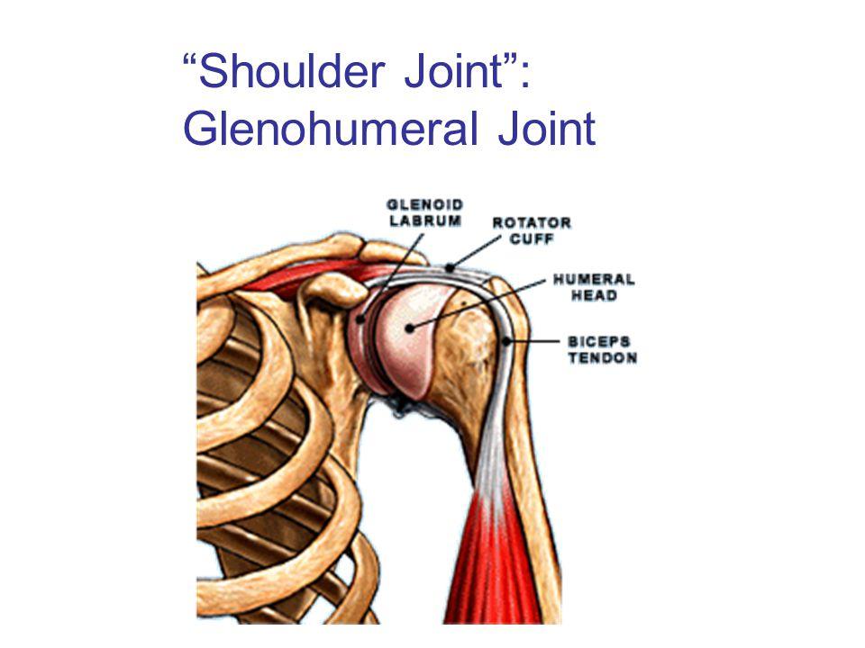 Shoulder Joint : Glenohumeral Joint