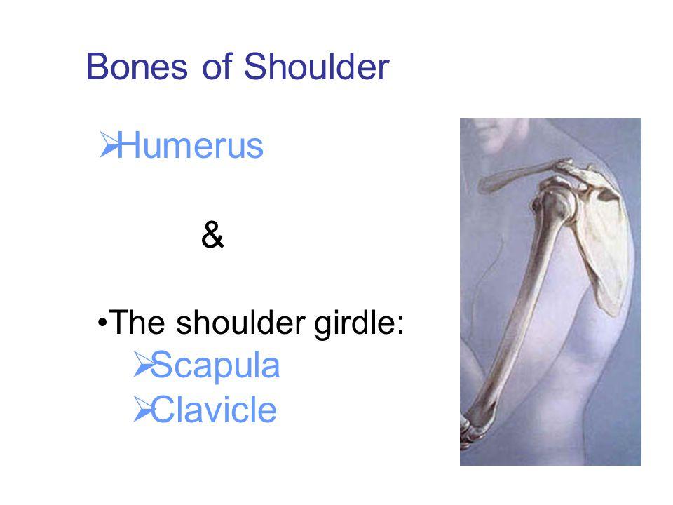 Bones of Shoulder Humerus & The shoulder girdle: Scapula Clavicle