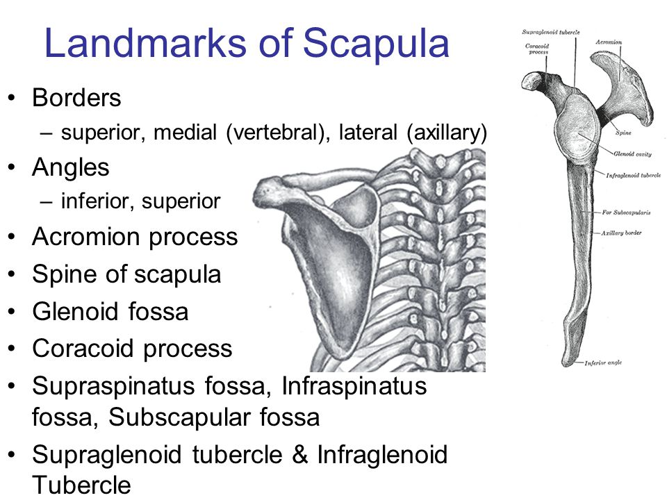 Landmarks of Scapula Borders Angles Acromion process Spine of scapula