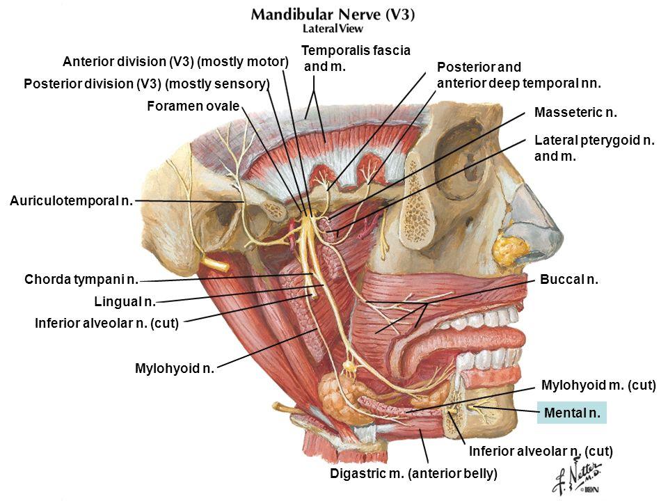Temporalis fascia and m. Anterior division (V3) (mostly motor) Posterior and. anterior deep temporal nn.