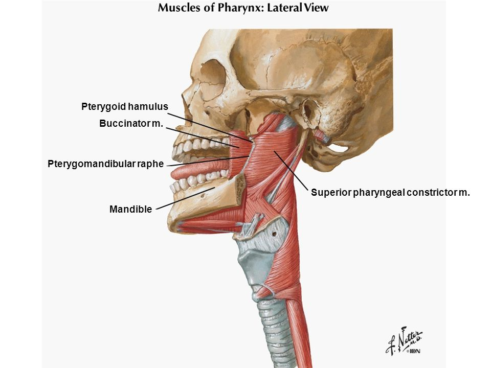 Pterygoid hamulus Buccinator m. Pterygomandibular raphe Superior pharyngeal constrictor m. Mandible