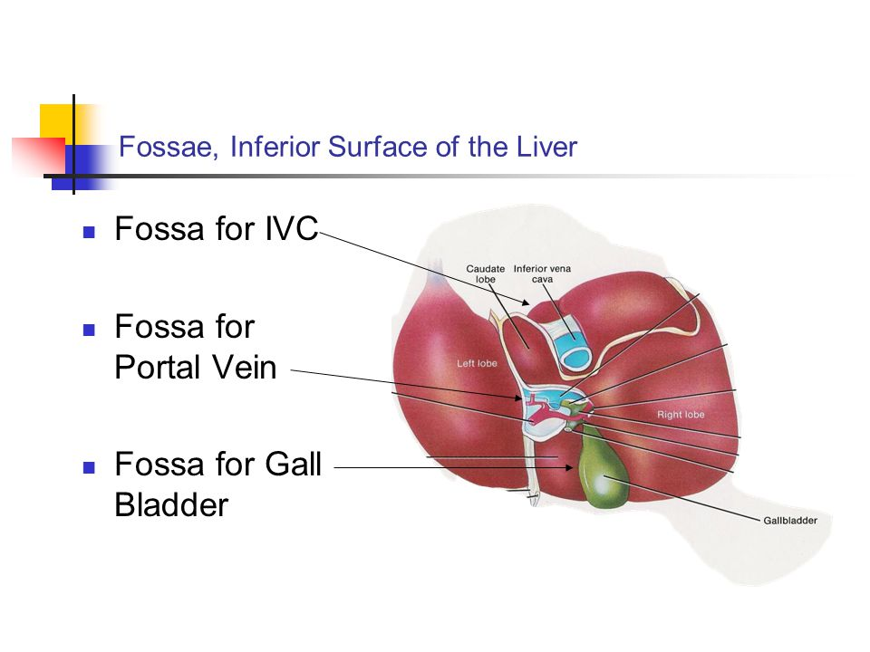 Fossae, Inferior Surface of the Liver