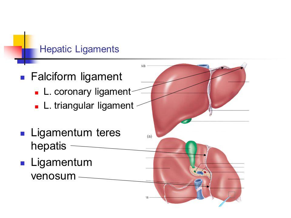 Ligamentum teres hepatis Ligamentum venosum