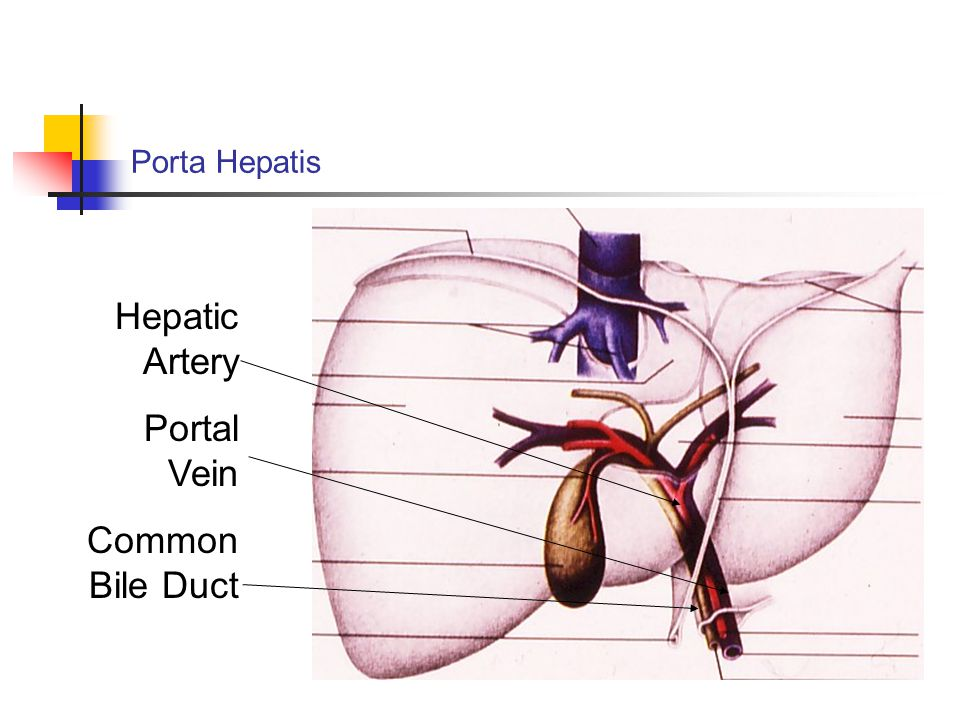 Hepatic Artery Portal Vein Common Bile Duct Porta Hepatis