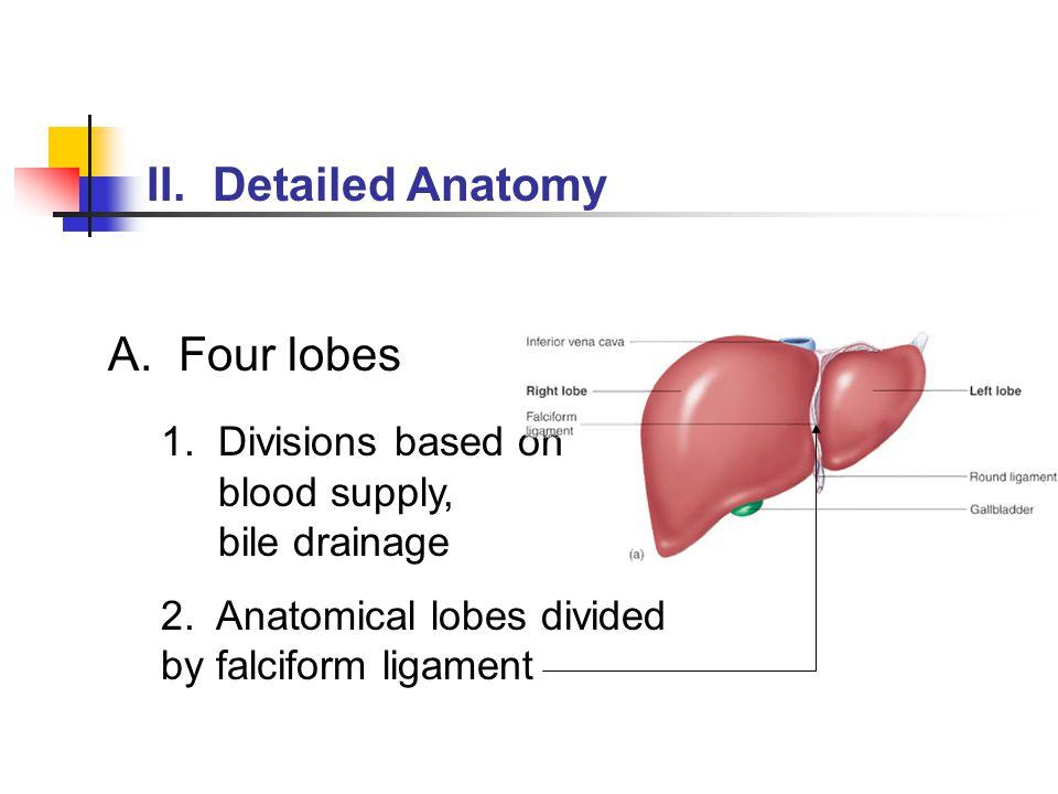 1. Divisions based on blood supply, bile drainage