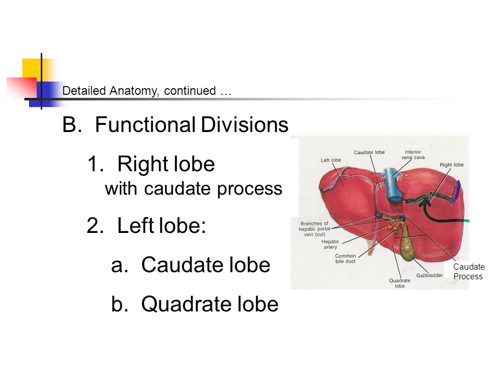 Right lobe with caudate process Left lobe: a. Caudate lobe