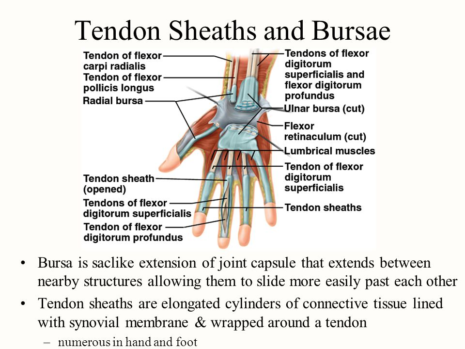 Tendon Sheaths and Bursae