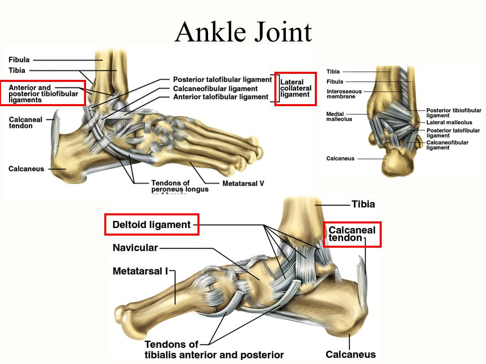 Ankle Joint Chapter 8 Joint Project