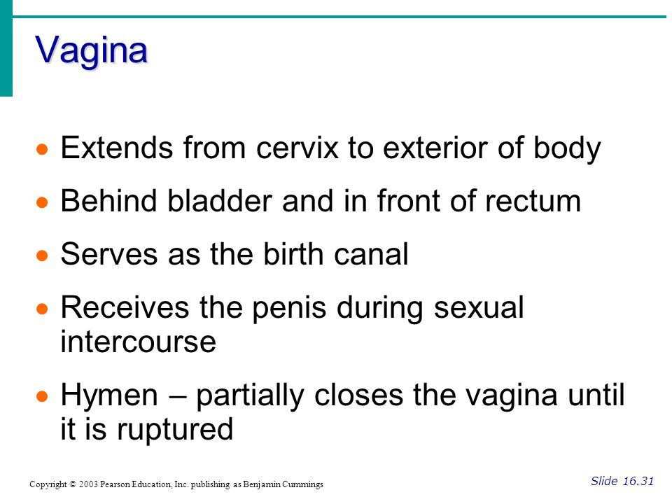 Vagina Extends from cervix to exterior of body