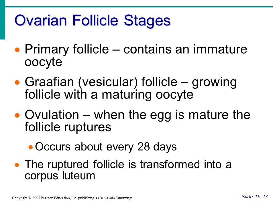 Ovarian Follicle Stages