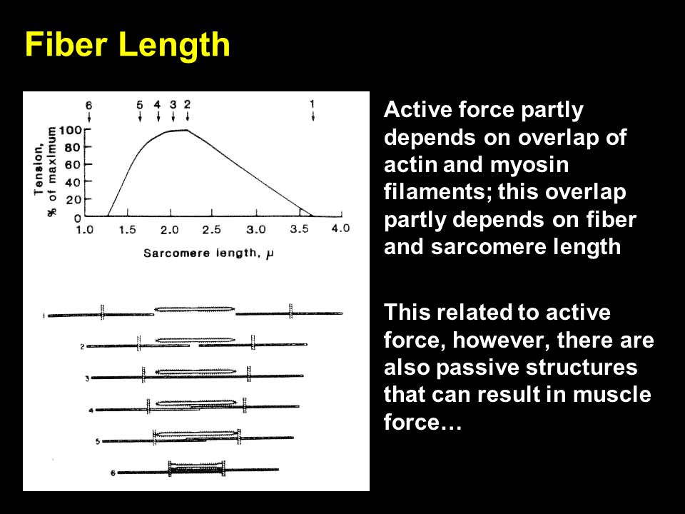 Fiber Length Active force partly depends on overlap of actin and myosin filaments; this overlap partly depends on fiber and sarcomere length.