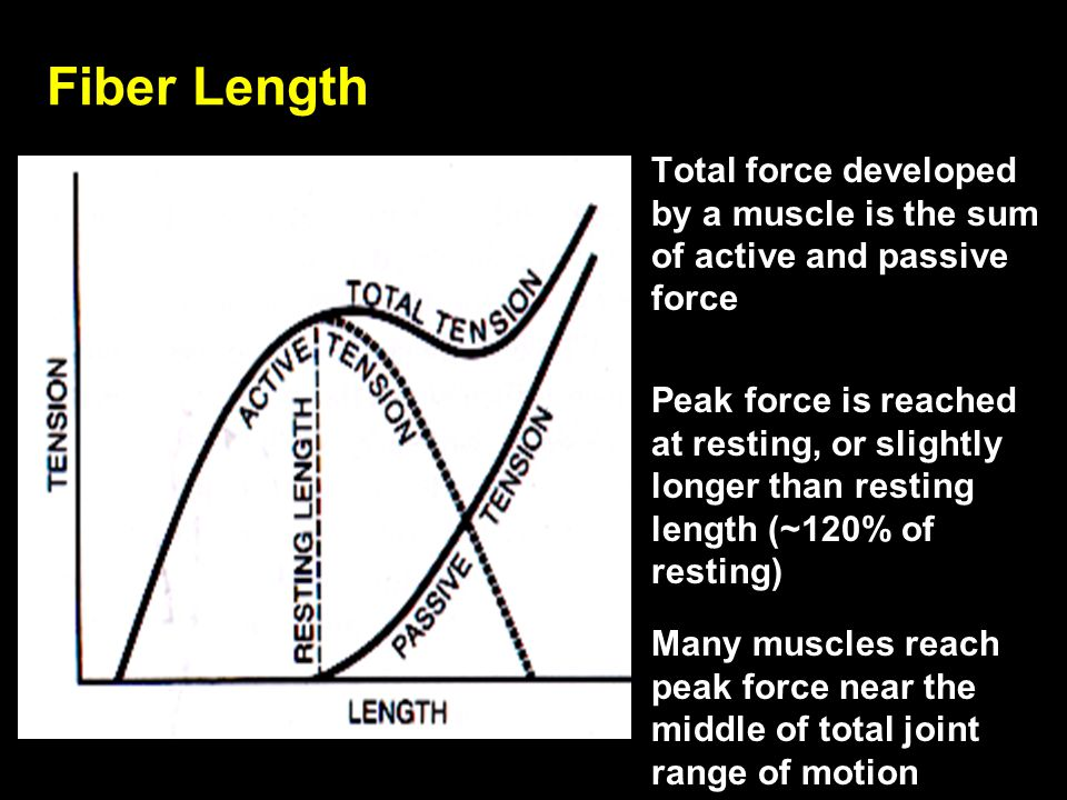 Fiber Length Total force developed by a muscle is the sum of active and passive force.