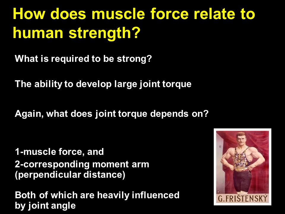 How does muscle force relate to human strength