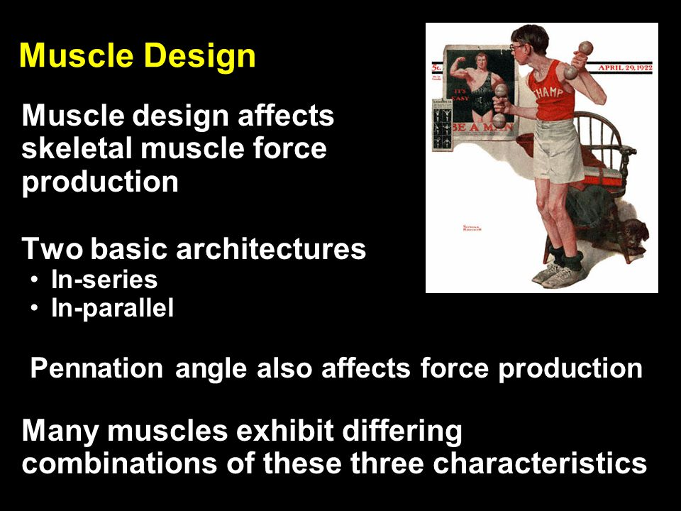 Muscle Design Muscle design affects skeletal muscle force production