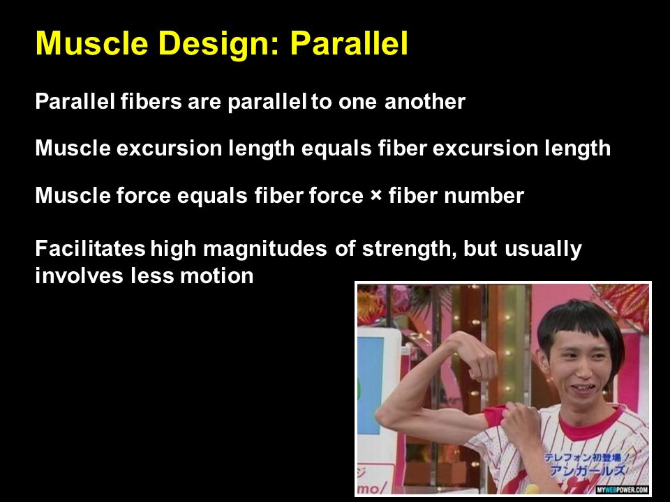Muscle Design: Parallel