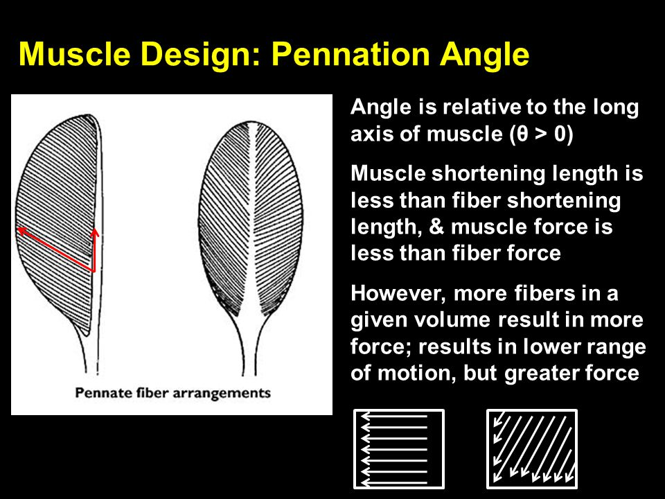Muscle Design: Pennation Angle