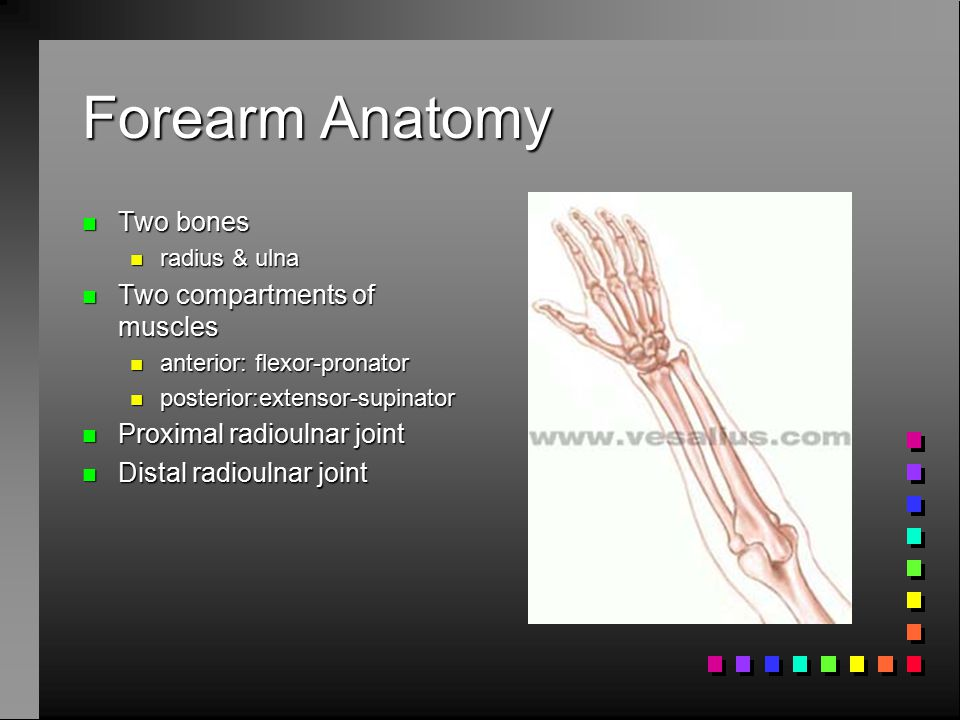 Forearm Anatomy Two bones Two compartments of muscles