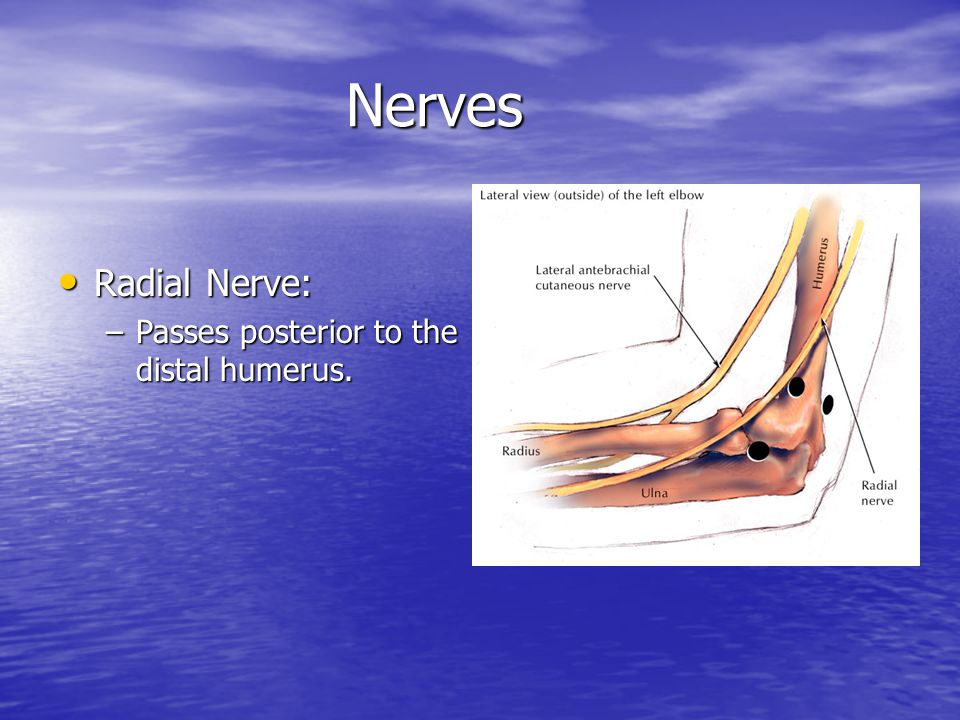 Nerves Radial Nerve: Passes posterior to the distal humerus.