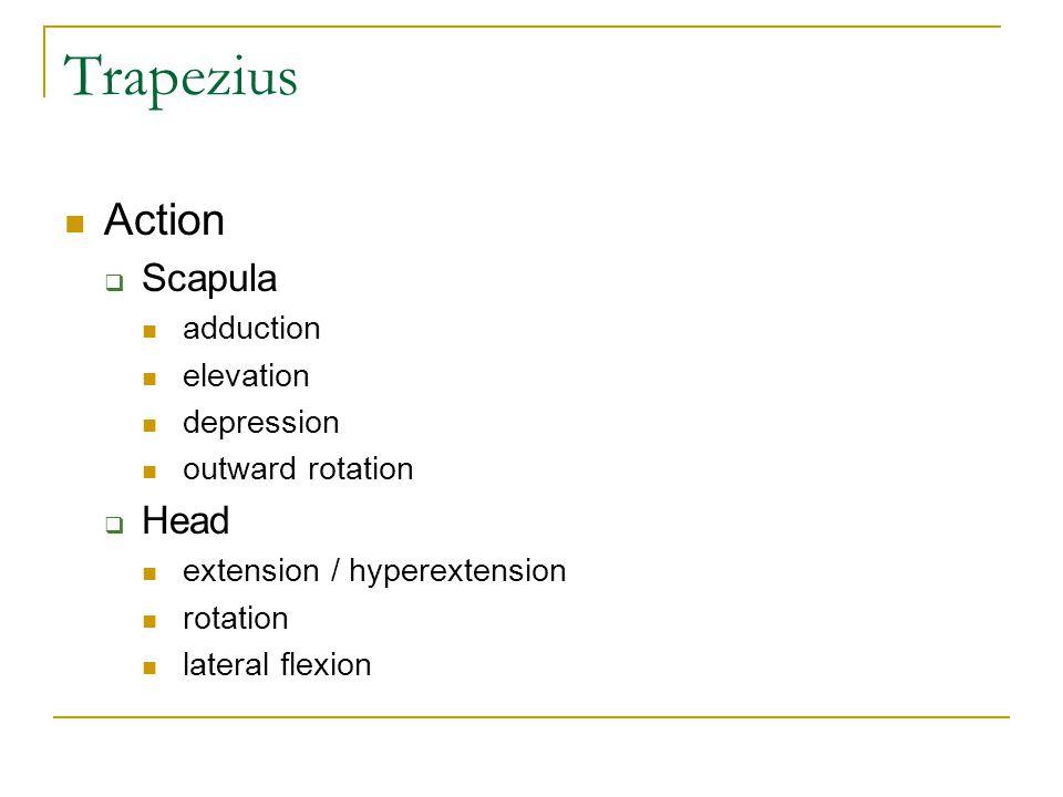 Trapezius Action Scapula Head adduction elevation depression