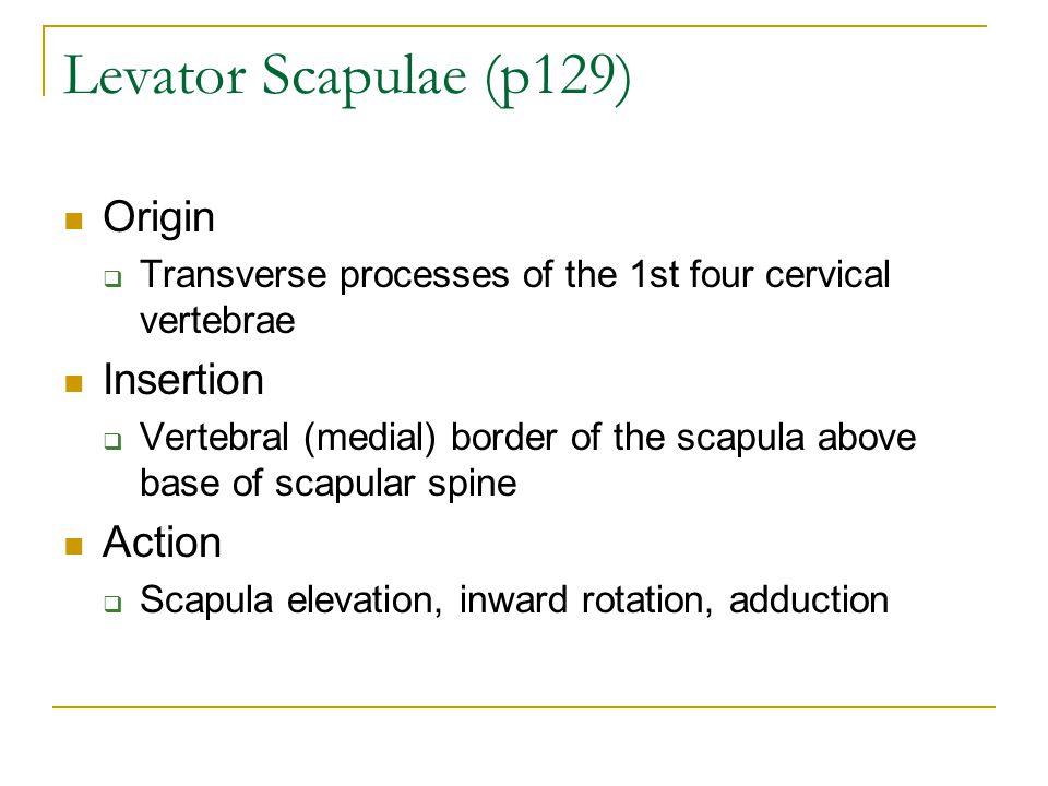 Levator Scapulae (p129) Origin Insertion Action