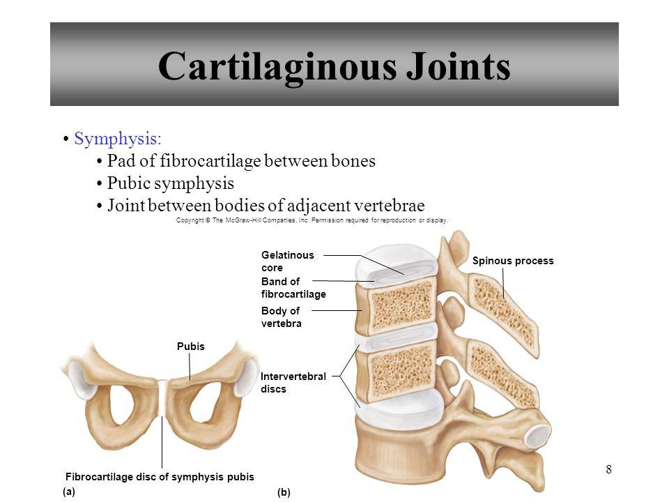 Fibrocartilage disc of symphysis pubis