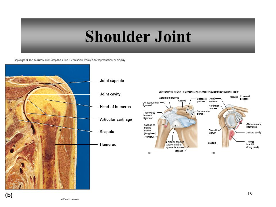 Shoulder Joint (b) Joint capsule Joint cavity Head of humerus