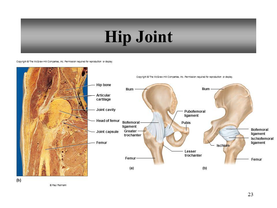 Hip Joint (b) Hip bone Ilium Ilium Articular cartilage Joint cavity