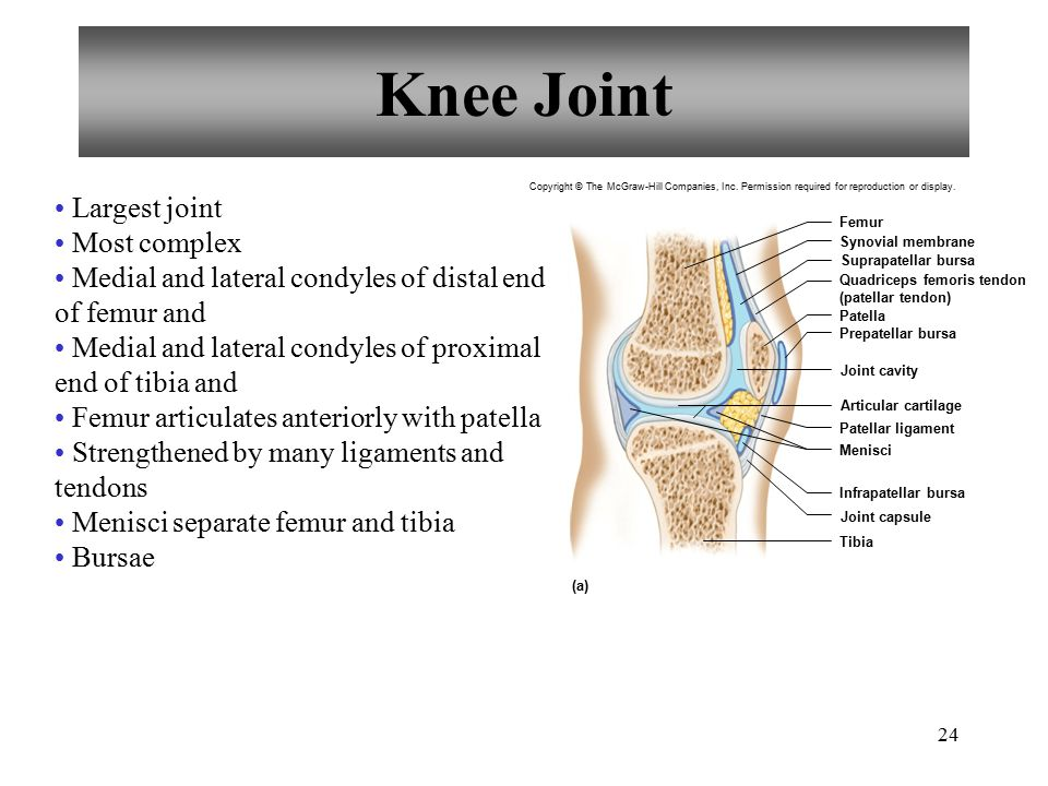 Knee Joint Largest joint Most complex